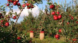 Svetski dan jabuka – 20. oktobar